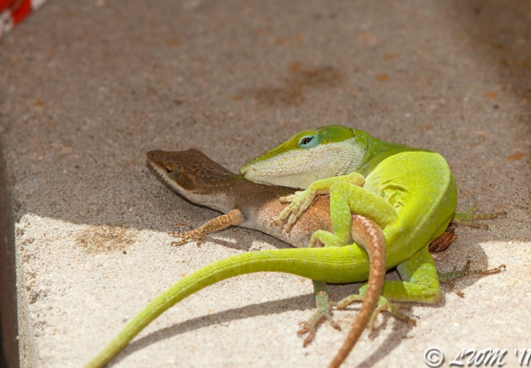 Green Anoles Mating In Garden
