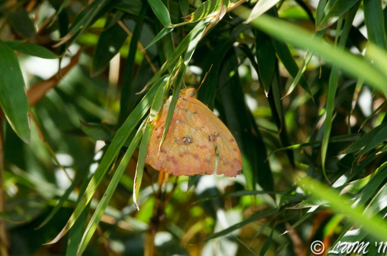 Orange Barred Sulphur, Large Orange Sulphur Or Cloudless Sulphur On Bamboo