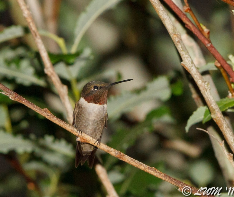 Male Ruby Throated Hummingbird Hiding In Tree