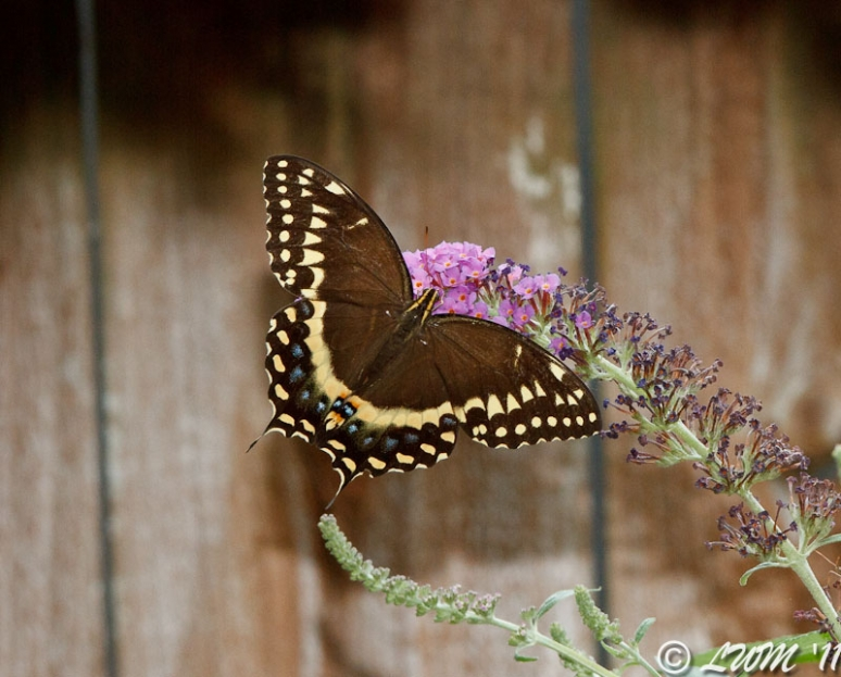 Palamedes Swallowtail On Butterfly Bush