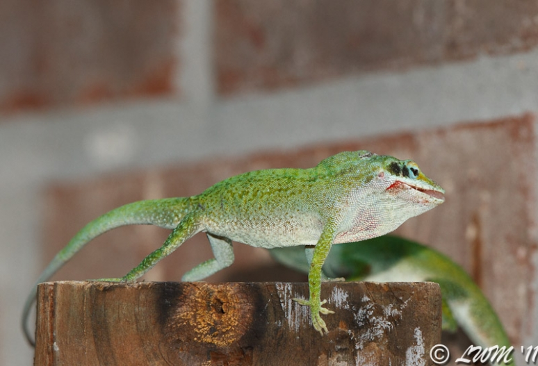 Green Anole Males Bleeding From Mouth