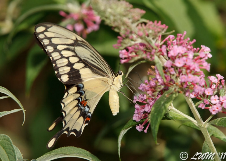 Giant Swallowtail Getting Nectar From Pink Butterfly Bush