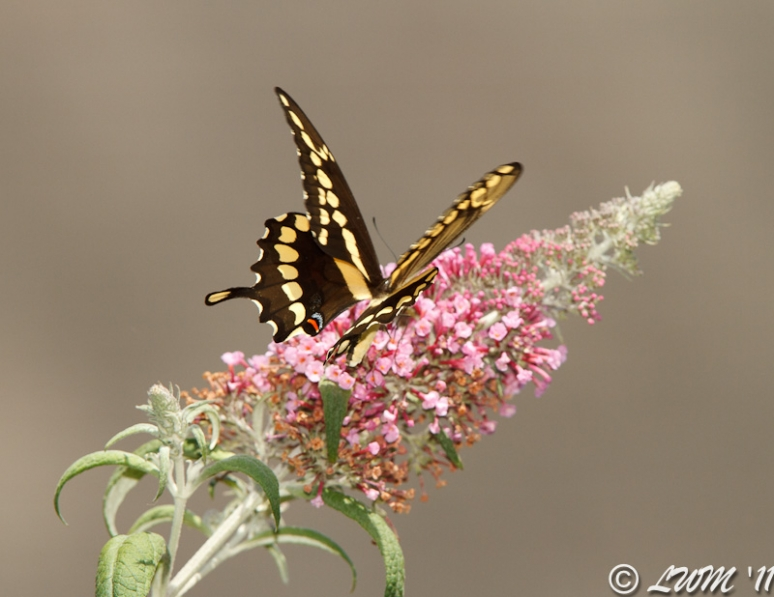 Giant Swallowtail On Pink Butterfly Bush