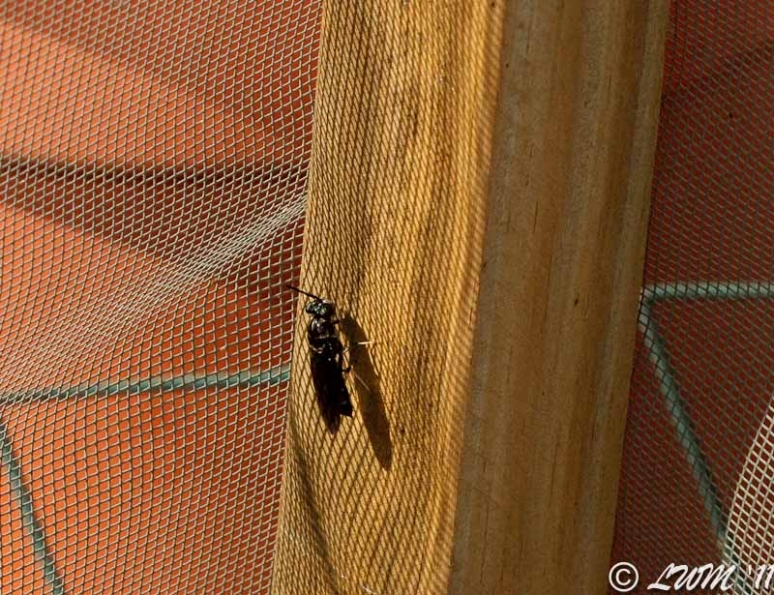 Mystery Wasp In Butterfly Enclosure