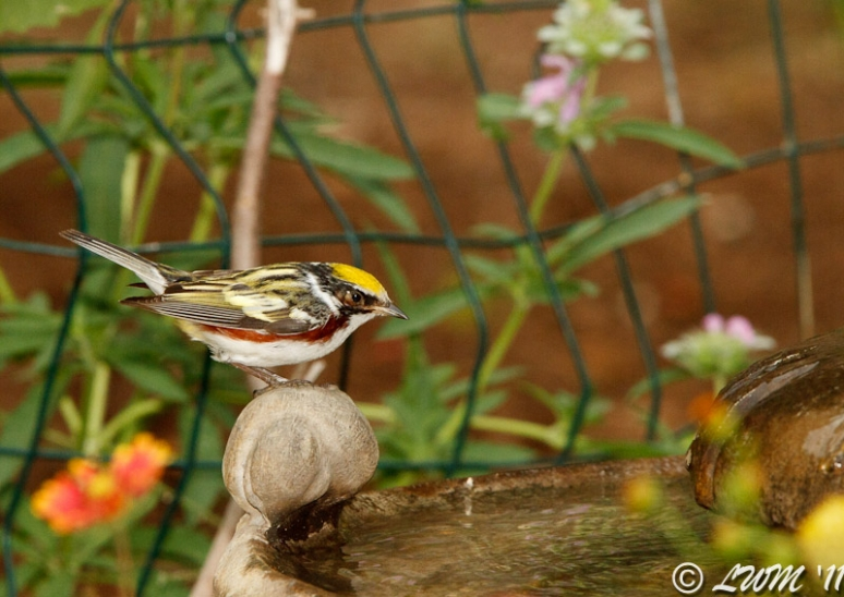 Chestnut Sided Warbler Looking At Bird Bath