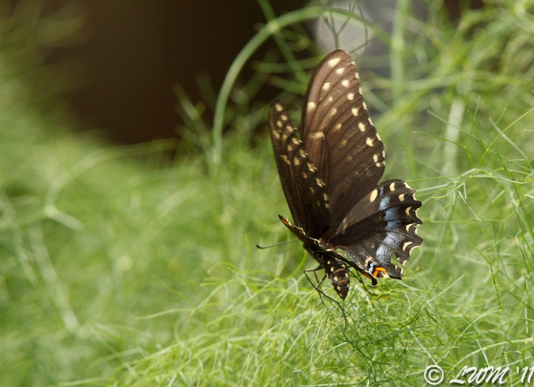 Eastern Black Swallowtail Butterfly In Flight Laying Eggs In Fennel