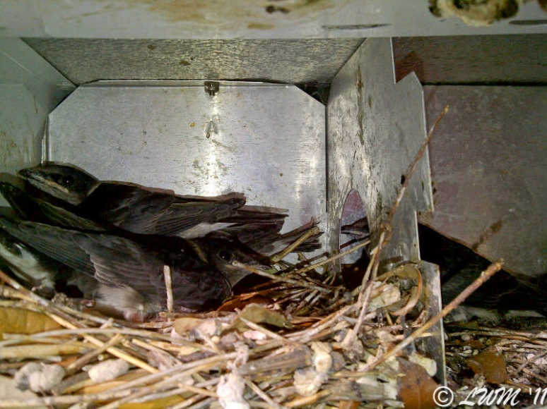 Purple Martin Nest One Day 24