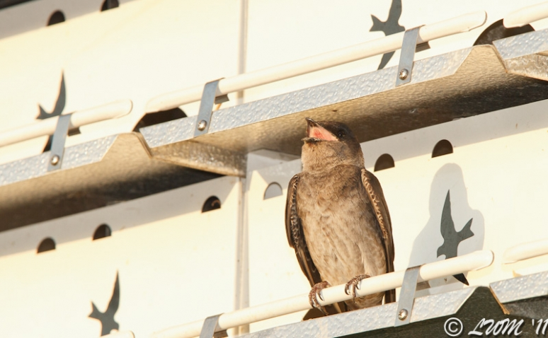 Purple Martin Yawning In The Morning