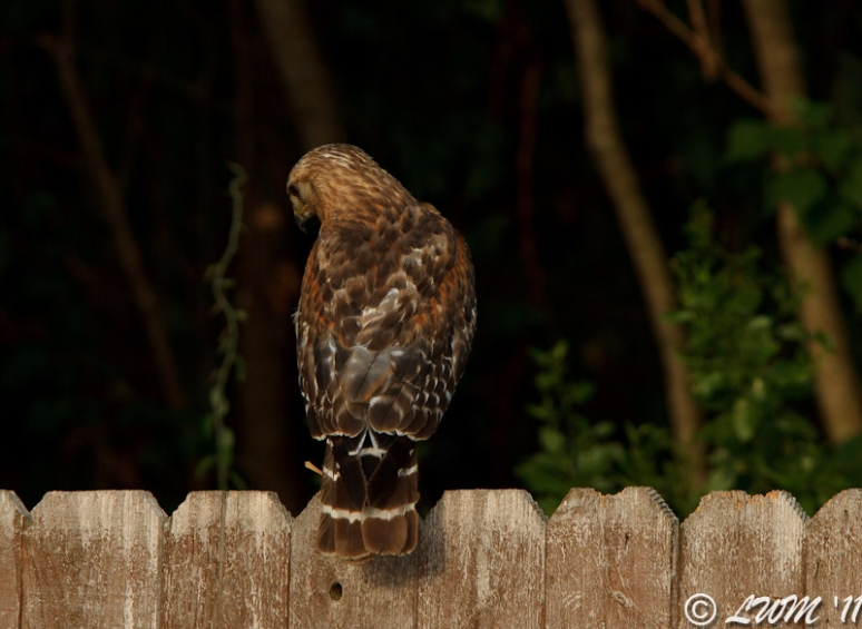 Red Shouldered Hawk On Fence Back View