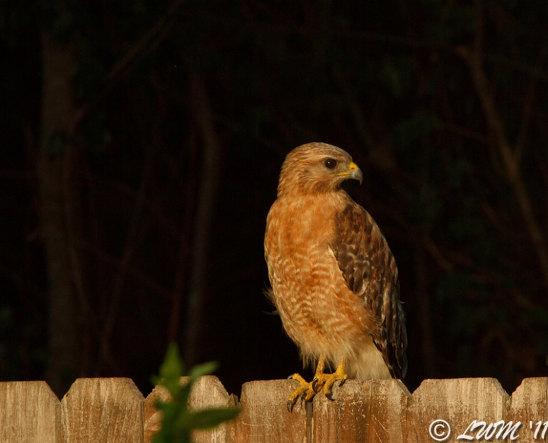 Red Shouldered Hawk On Fence Front View