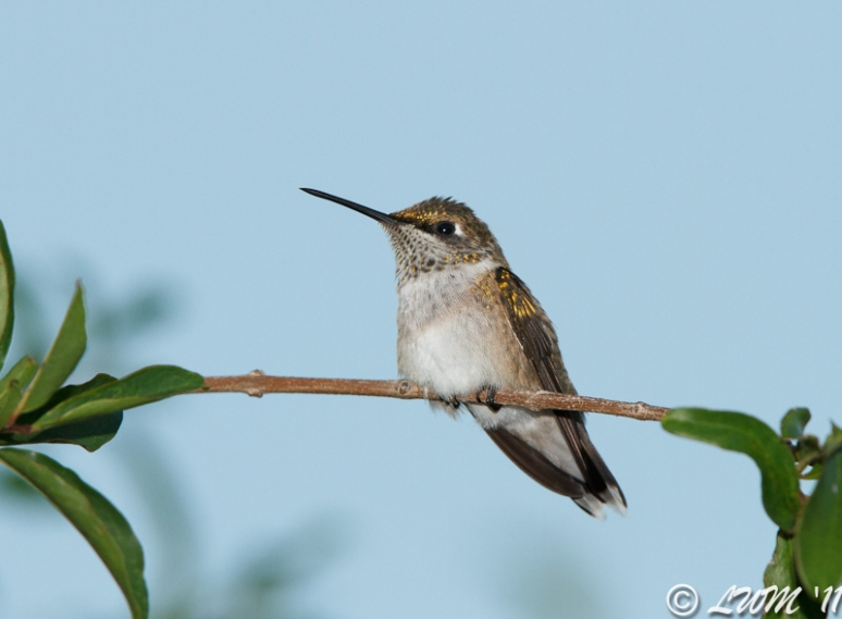 Juvenile Male Ruby Throated Hummingbird Resting On Branch