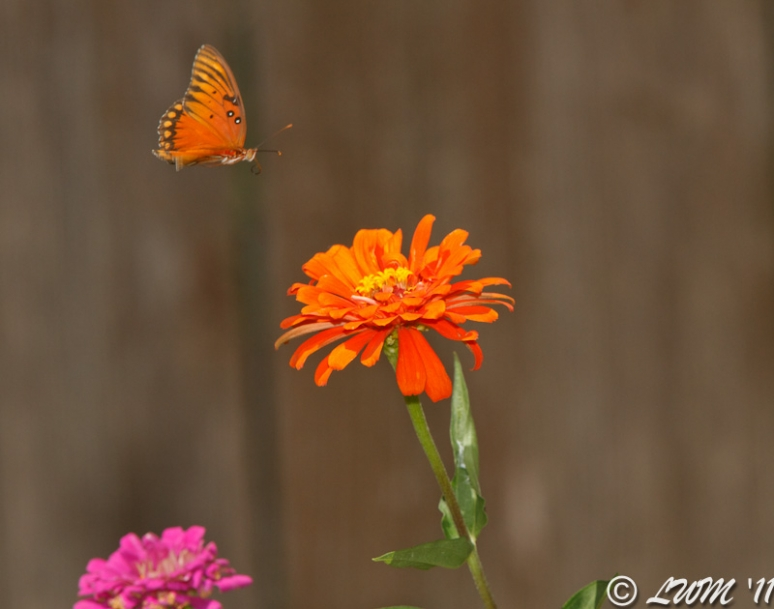 Gulf Fritillary In Flight Towards Orange Zinnia
