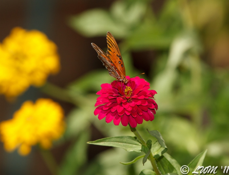 Gulf Fritillary On Red Zinnia
