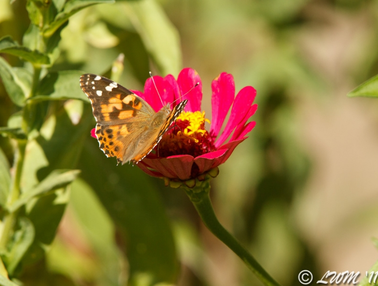 American Painted Lady Butterfly On Red Zinnia