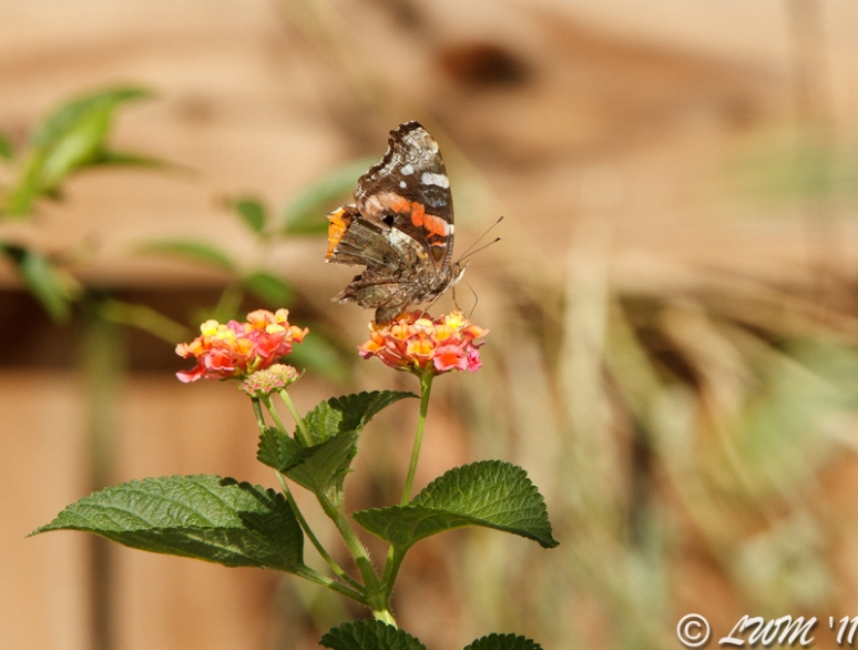 Red Admiral On Lantana