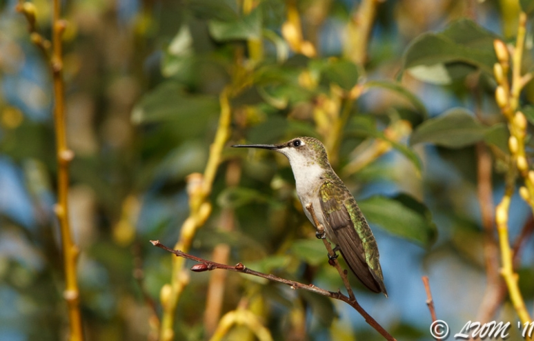 Female Ruby Throated Hummingbird On Pussywillow Tree