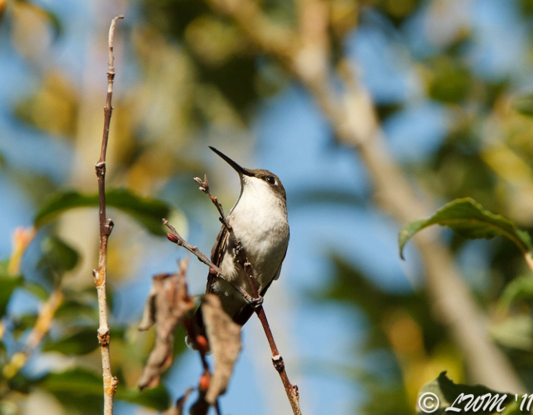 Female Ruby Throated Hummingbird Looking Regal On Pussywillow Tree