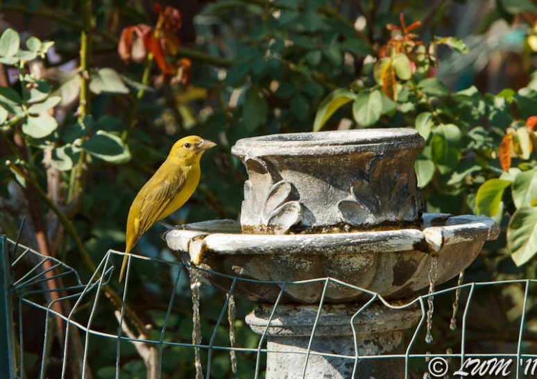 Summer Tanager Getting A Drink