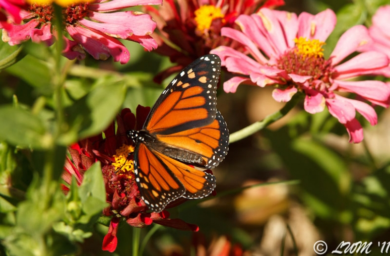 Male Monarch Getting Nectar On Pink And Red Zinnias