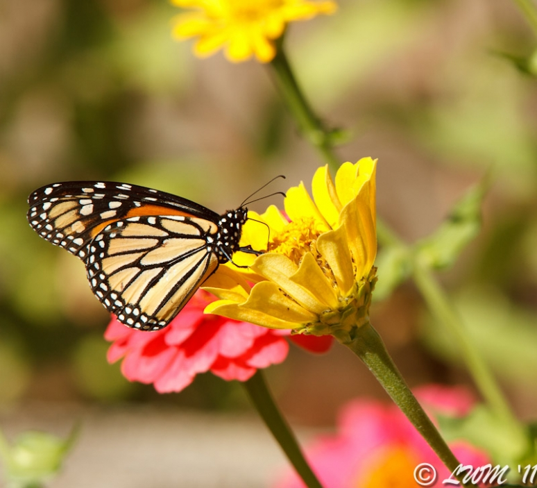 Monarch Butterfly Getting Nectar On Pink And Yellow Zinnias