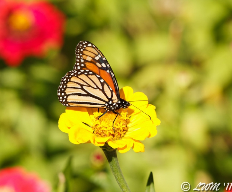 Untagged Monarch On Yellow Zinnia