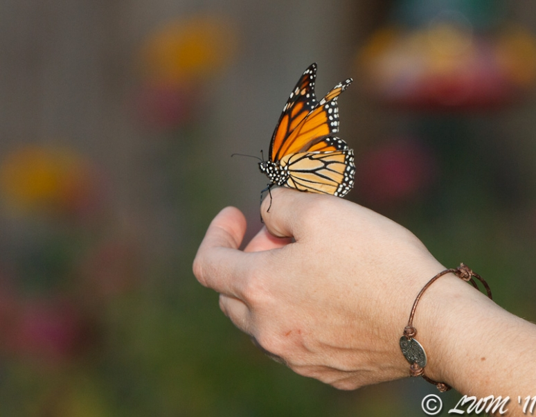 Deformed Monarch Butterfly Found In Yard