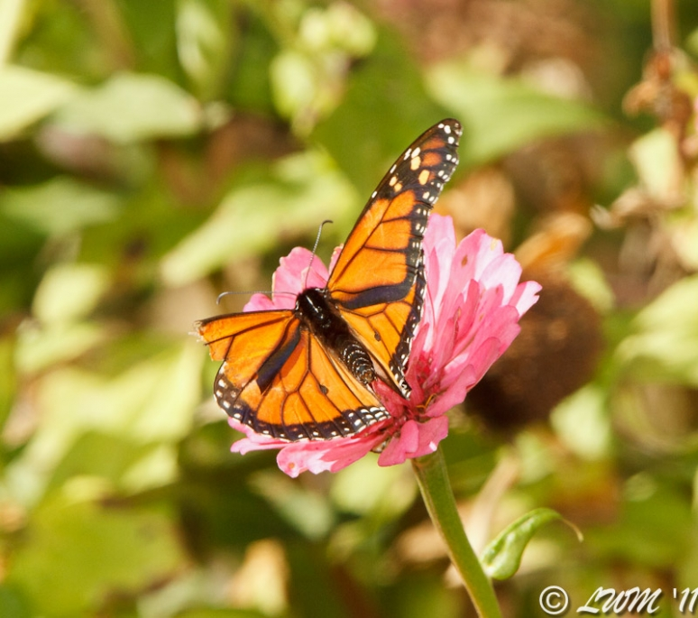 Male Monarch With Torn Wing On Pink Zinnia