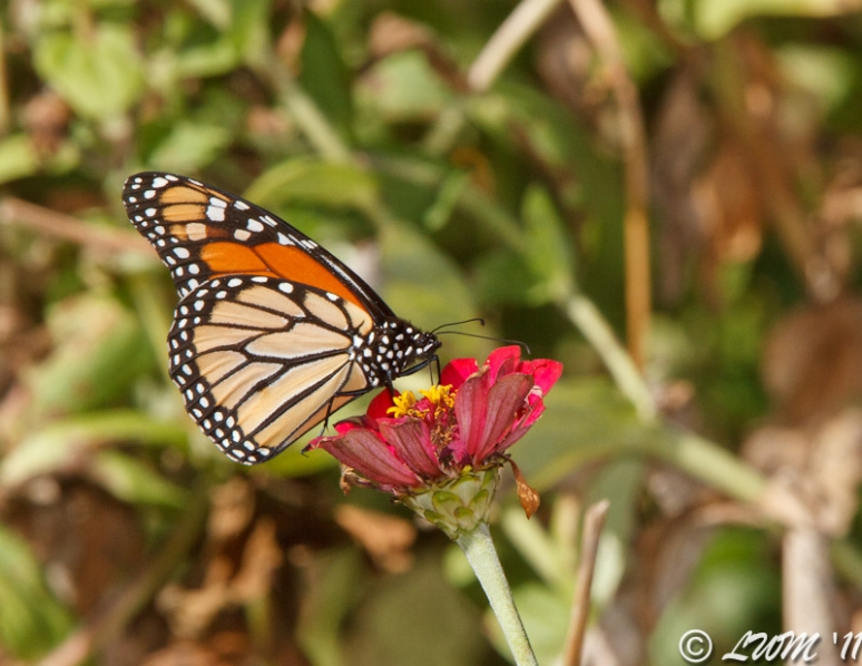 Clean Monarch Butterfly Feeding On Red Zinnia