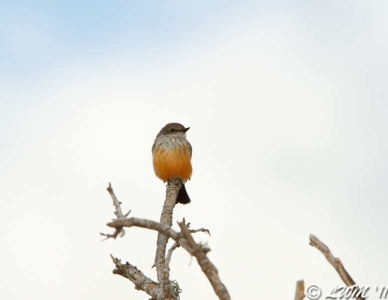 Female Vermillion Flycatcher Front View