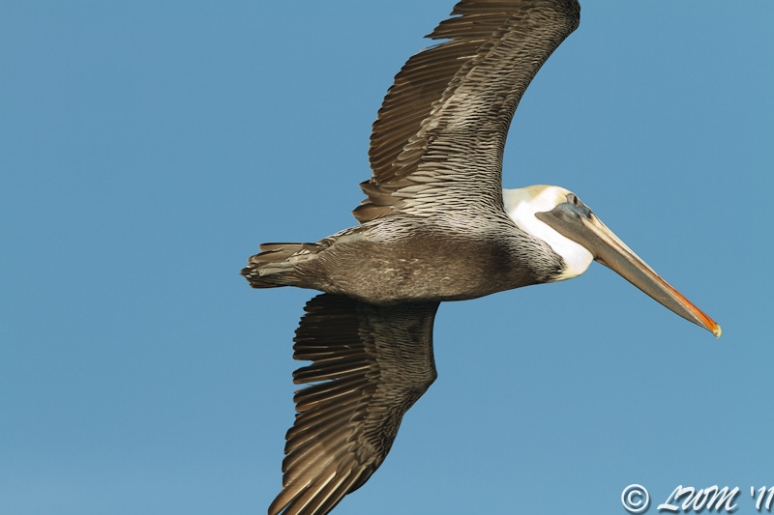 Brown Pelican Hovering Before Diving