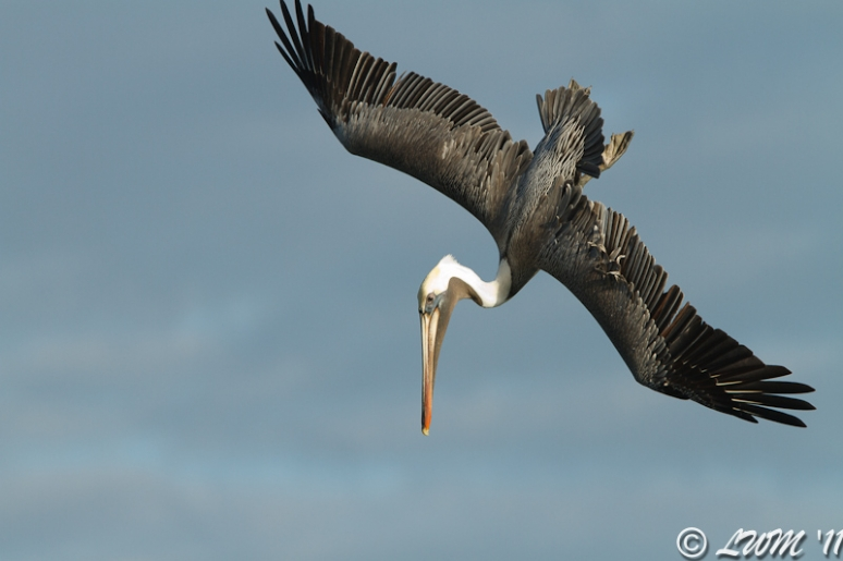 Brown Pelican Turning To Dive