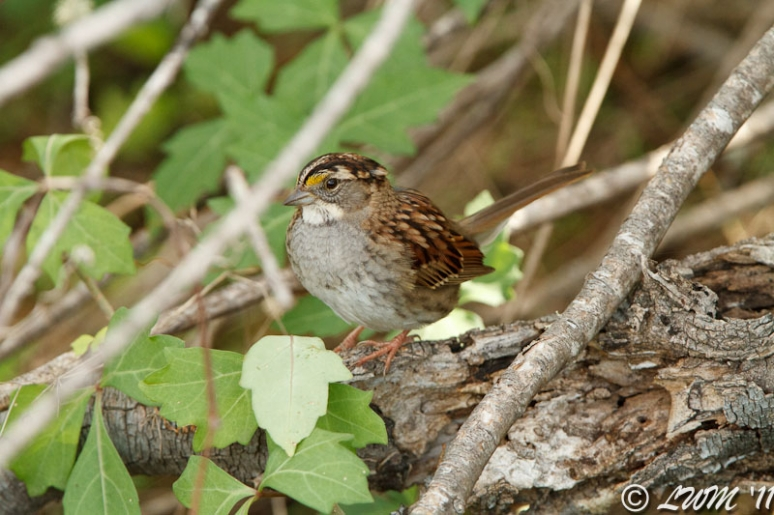 White Throated Sparrow Hiding In Twigs
