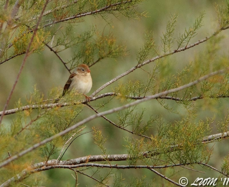 Field Sparrow In Tree
