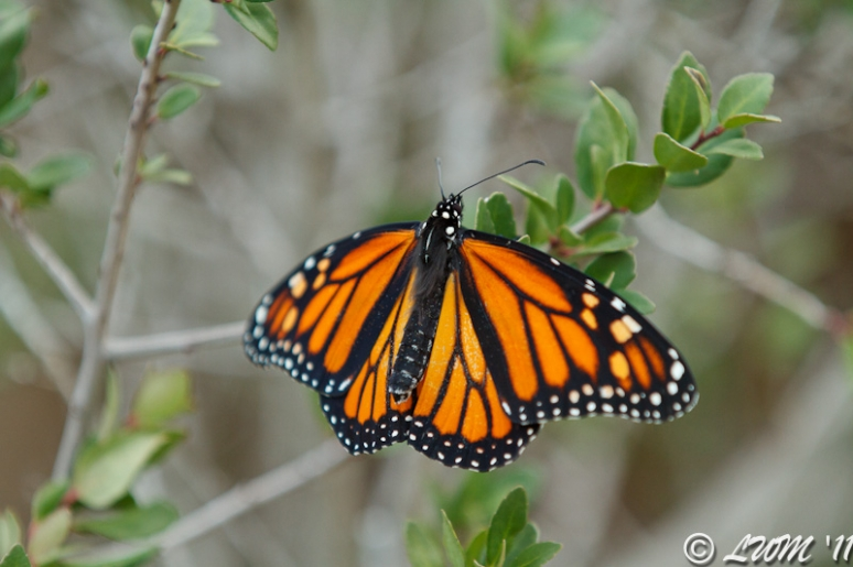 Recently Tested Monarch On Tree