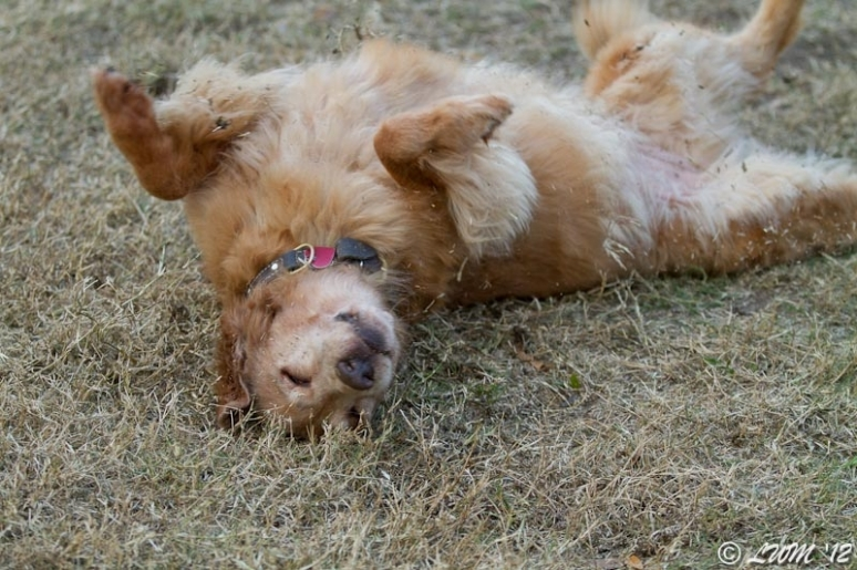 Maggie The Golden Retriever Rolling In The Grass