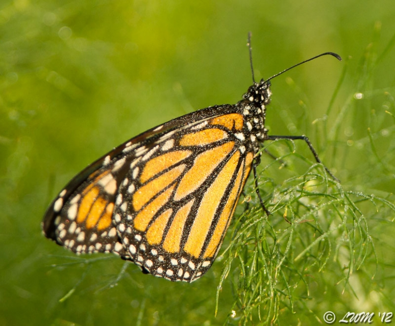 Monarch Butterfly Covered In Dew