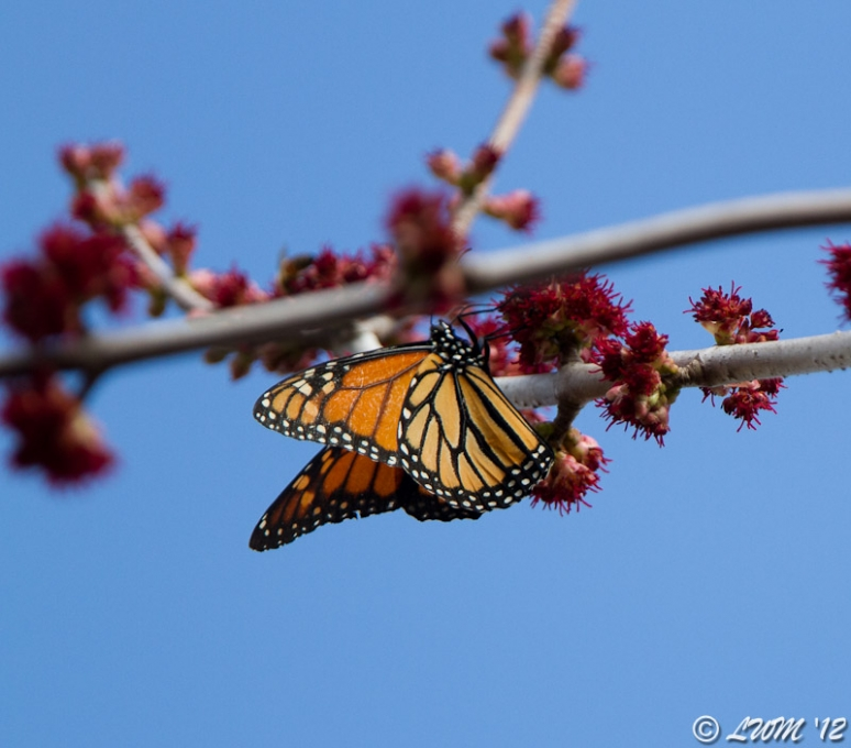 Monarch Butterfly Getting Nectar From Maple Tree 2012