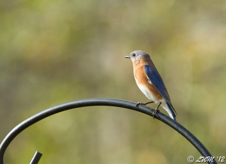 Male Eastern Bluebird First Visit 2012