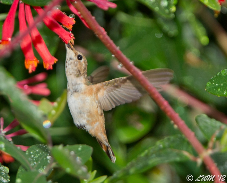 Mystery Hummingbird Feeding On Coral Honeysuckle