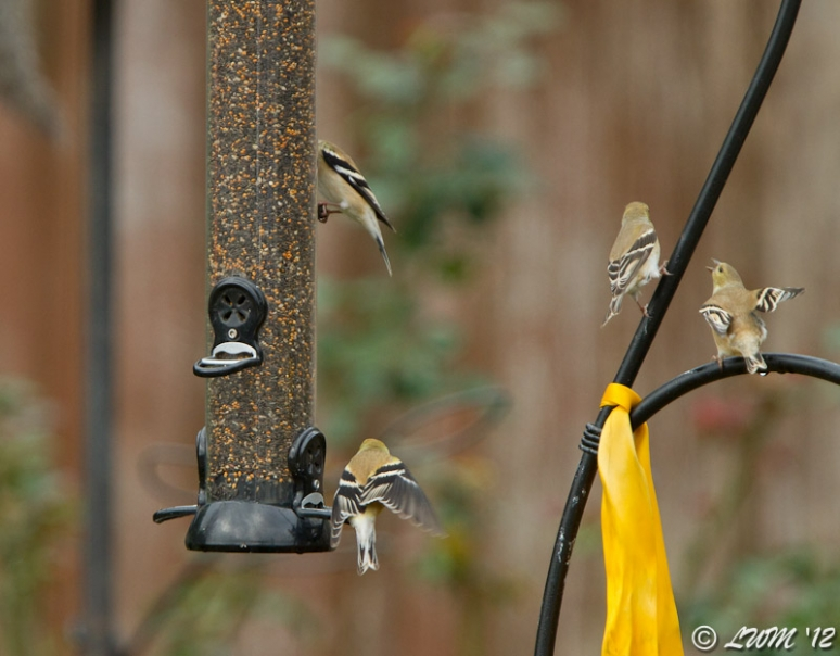 American Goldfinches Waiting For Turn At Feeder