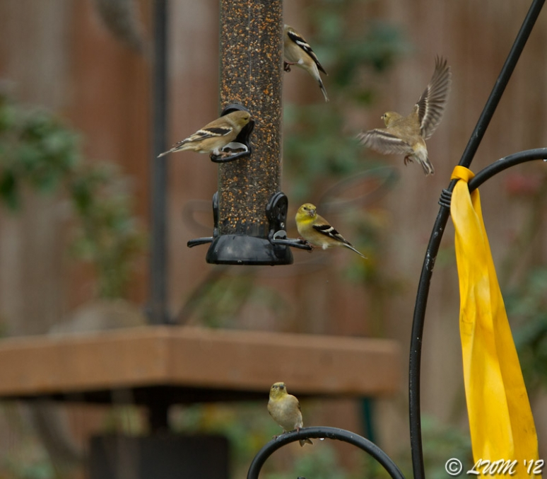 American Goldfinches Flocking Around Feeder