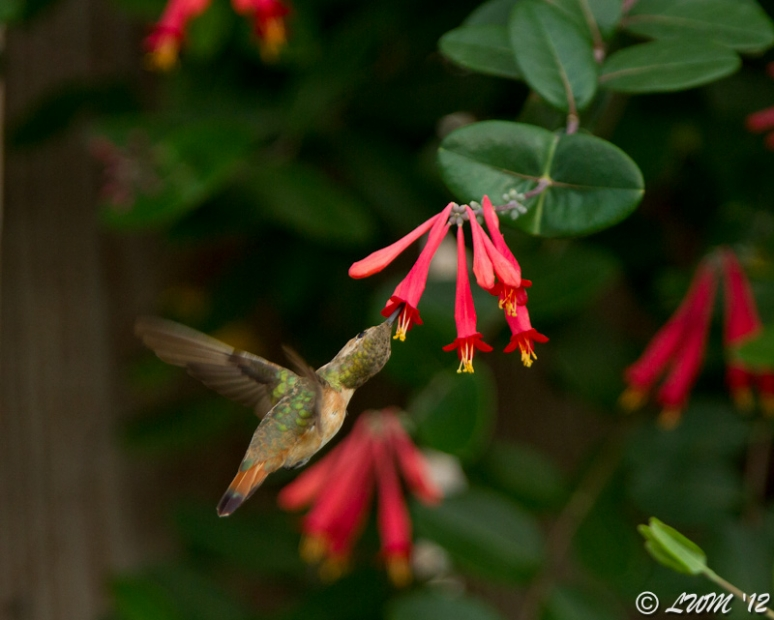 Rufous Hummingbird Feeding On Coral Honeysuckle