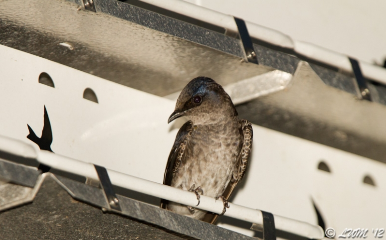 First Female Purple Martin Picture of 2012
