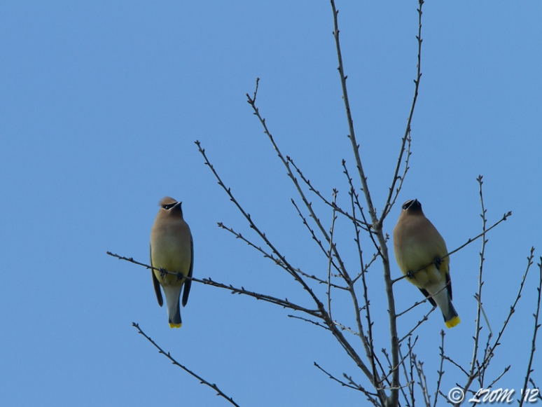 Pair Of Cedar Waxwings In Tree