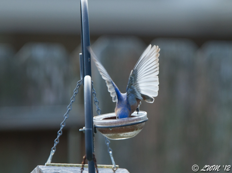 Male Bluebird Diving Into Food Dish