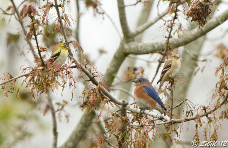 Male Eastern Bluebird And Two American Goldfinches Sharing Tree Branches