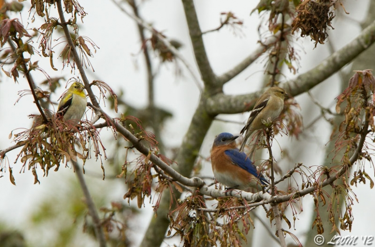Male Eastern Bluebird And Two American Goldfinches Sharing Tree Limbs