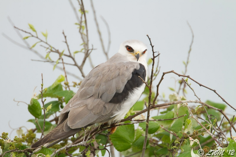 White Tailed Kite Sitting In Tree