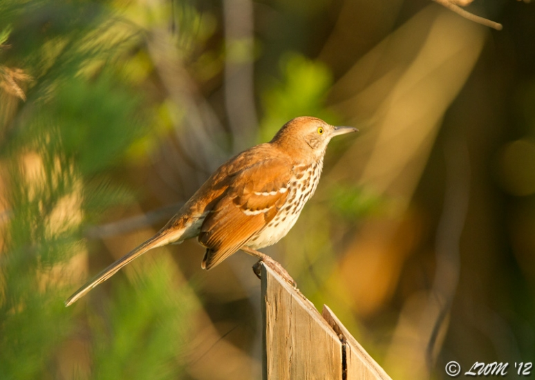 Brown Thrasher In Morning Light
