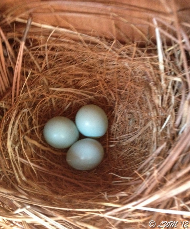 Eastern Bluebird Nest Check Day 3